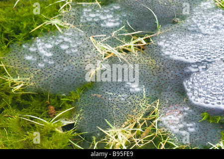 Frog spawn. Common frog, Rana temporaria. UK - Stock Photo