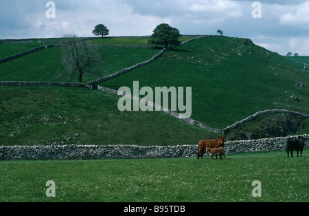 ENGLAND Derbyshire Peak District Dovedale Farmland field patterns divided by dry stone walls with cattle and calf - Stock Photo
