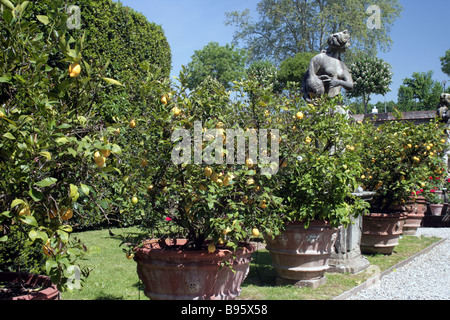 lemon trees in the gardens of the Palazzo Pfanner Lucca Tuscany Italy - Stock Photo