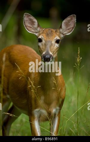 White-tailed Deer Portrait (Odocoileus virginianus) New York - Doe standing in woods -  In Spring - Stock Photo