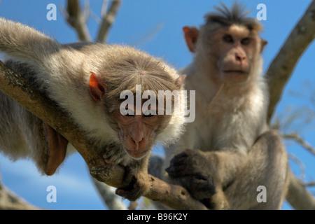 Monkeys in tree ready to pounce at photographer near Ooty Tamil Nadu India - Stock Photo