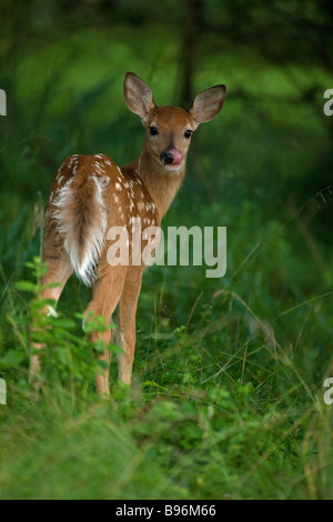 White-tailed Deer (Odocoileus virginianus) New York - Fawn with spots in woods - Spring - New York - USA - Stock Photo