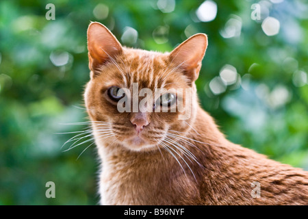 Close up of a ginger tom cat. Taken with a 50mm prime lens achieving shallow depth of field. - Stock Photo