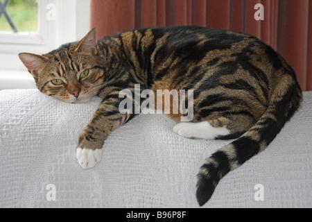Tabby cat lying on the back of an armchair - Stock Photo