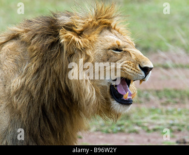 Snarling young male lion in Masai Mare, Kenya - Stock Photo