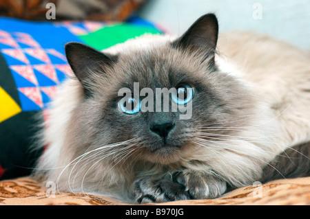 Neva Masquerade Cat (AKA Colorpoint Siberian Forest Cat). - Stock Photo