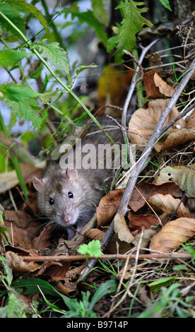 Brown Rat looks directly at the camera from a hedgerow - Stock Photo