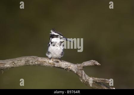Pied Kingfisher Ceryle rudis Keoladeo Ghana National Park Bharatpur Rajasthan India BI018108 - Stock Photo