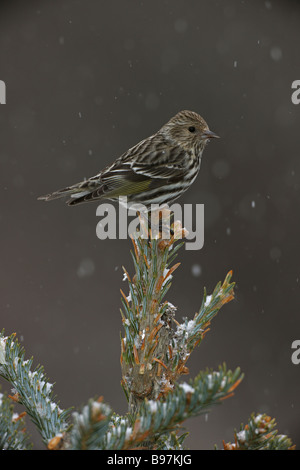 Pine Siskin (Carduelis pinus) Perched New York - USA - Found mainly in open coniferous forest - Stock Photo