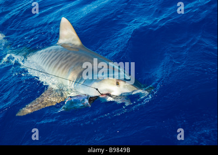Catch of tiger shark big game fishing La Reunion France | Tigerhai, Fang am Haken, Hochseeangeln, La ReunionLa Réunion, - Stock Photo