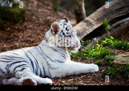 White Tiger Cub in captivity - Panthera Tigris, Nashville Zoo, Tennessee, USA - Stock Photo