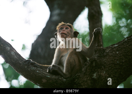 Rhesus monkey (Macaca mulatta) sitting on bough of tree, looking up - Stock Photo