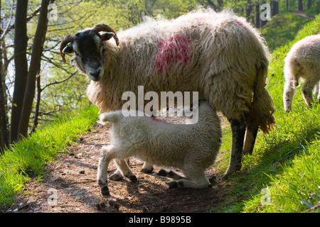 Ewe Suckling a Lamb  in woodland in the Upper Derwent Valley in the Peak District National Park in Derbyshire - Stock Photo