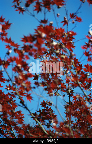 Red leaves of Japanese maple against blue sky - Stock Photo