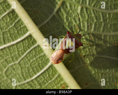 Hawthorn shield bug, Acanthosoma haemorrhoidale, on leaf at Dorset in October - Stock Photo