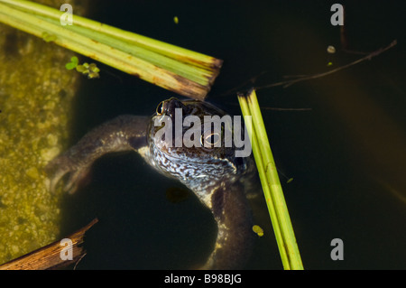 Common adult male frog emerging from a pond during mating. - Stock Photo
