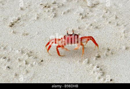 Galapagos Ghost Crab, Ocypode gaudichaudii, San Cristobal Island, Galapagos Islands, Ecuador, South America Stock Photo