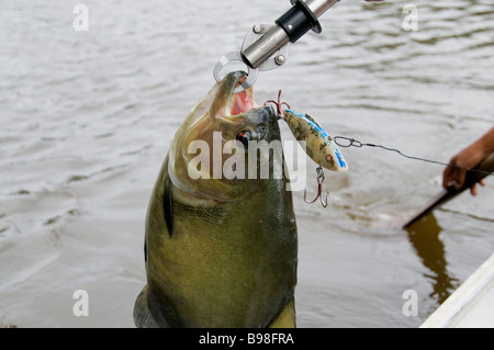 This big piranha was caught on a plug fishing in fast water rapids on Brazil's Rio Jatapu in the Amazon Rain Forest - Stock Photo