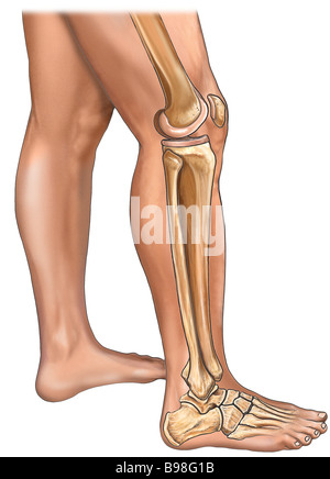 Bones of the Leg, Knee, and Foot with Skin: Lateral View - Stock Photo
