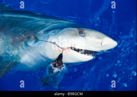 Catch of tiger shark big game fishing La Reunion France | Tigerhai, Fang am Haken, Hochseeangeln, La Reunion - Stock Photo