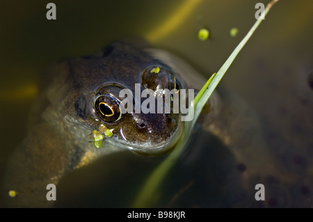 Common adult male frog emerging from a pond during mating - Stock Photo