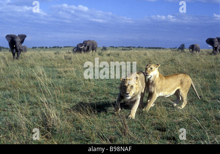 Mating lion couple escaping running from charging elephants Masai Mara National Reserve Kenya East Africa - Stock Photo