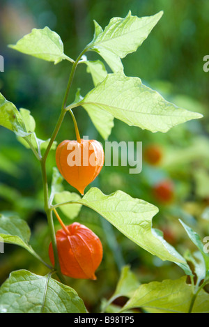chinese lantern plant physalis alkekengi with its round. Black Bedroom Furniture Sets. Home Design Ideas