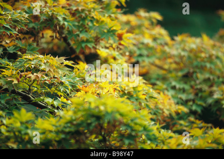 Lush leaves of Japanese Maple beginning their autumnal change from green to yellow - Stock Photo