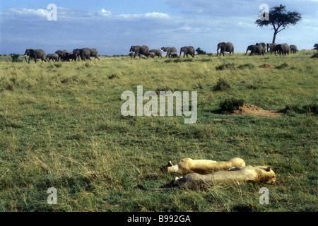 Lions resting as a herd of elephants walk past Masai Mara National Reserve Kenya East Africa