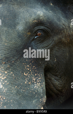 Sri Lankan elephant, close-up of face - Stock Photo