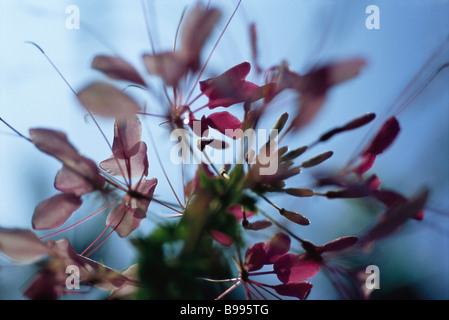 Cleome flower, low angle, abstract view - Stock Photo