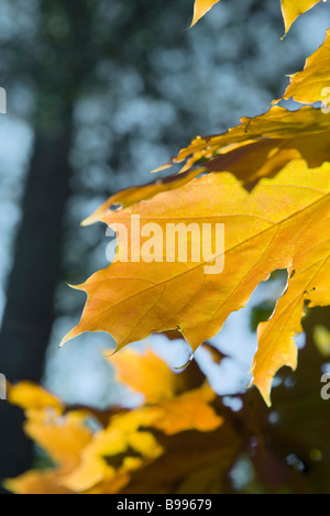 Golden leaves on tree, extreme close-up - Stock Photo