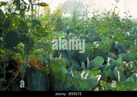 Cabbage growing in field - Stock Photo