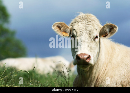 White cow in pasture, close-up - Stock Photo
