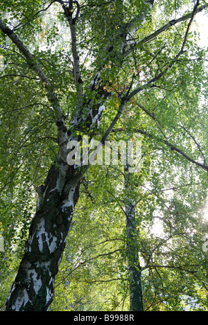 Forest canopy, low angle view - Stock Photo