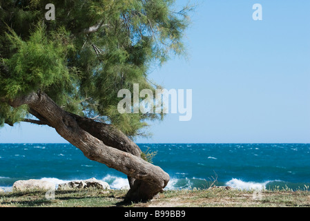 Twisted white pine tree growing on sea shore - Stock Photo