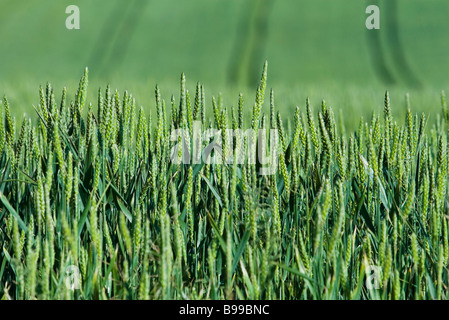 Green wheat growing in field, close-up - Stock Photo