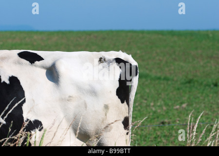 Tail end of cow in pasture - Stock Photo