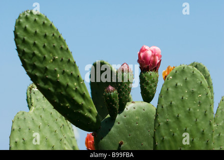 Flowering prickly pear cactus, extreme close-up