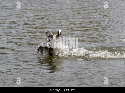 Two Coots Fighting, Fulica atra, Rallidae - Stock Photo