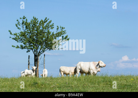 White cattle in pasture - Stock Photo