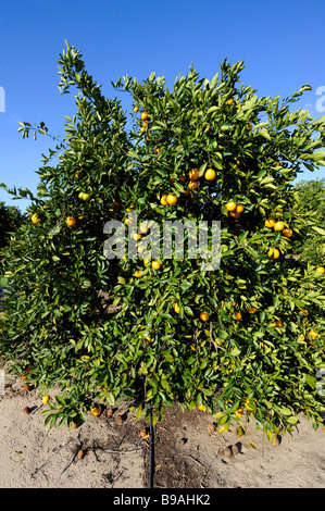 Orange trees Lake Wales Florida US - Stock Photo