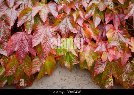 Autumn Ivy. Glowing reds and greens of a boston ivy vine growing on the side of a house. - Stock Photo