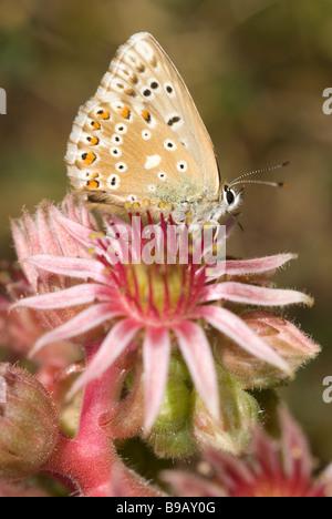 Male chalk-hill blue butterfly (Polyommatus coridon) on Mountain Houseleek (Sempervivum montanum) - Stock Photo