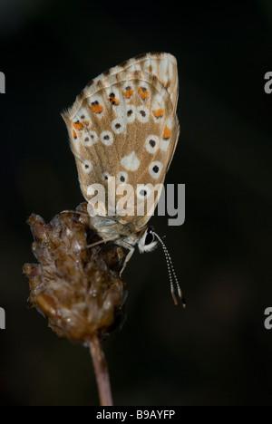 Female chalkhill blue butterfly (Polyommatus coridon) - Stock Photo
