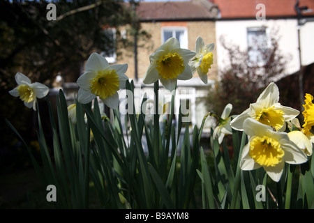 Daffodils in a back garden London. - Stock Photo