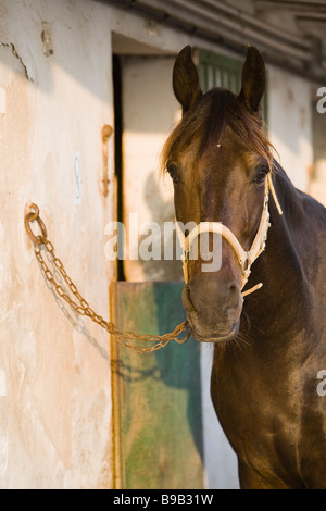 tethered horse at stables - Stock Photo