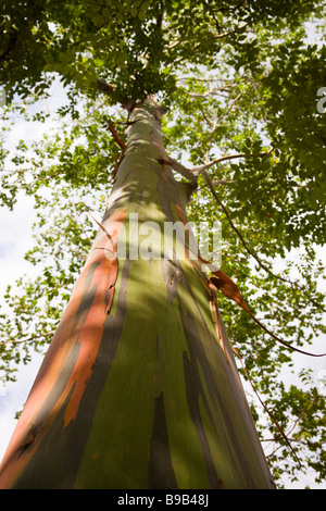 Looking up at a Rainbow Eucalyptus tree (Eucalyptus deglupta) in Palmar Sur, Costa Rica. - Stock Photo