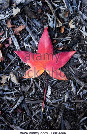 Fallen Red Leaf of Liquid Amber Glendora California - Stock Photo