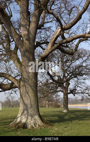 Close up of oak trees at Corsham Court, Wiltshire, England, UK - Stock Photo